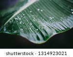 banana leaf with water drops | Shutterstock . vector #1314923021