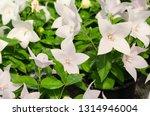 platycodon grandiflorus or... | Shutterstock . vector #1314946004