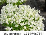 compact nemesia in the flower... | Shutterstock . vector #1314946754