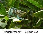 Small photo of One of newly described madagascar chameleons - Calumma amber.