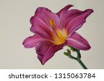 elegant dark pink daylily... | Shutterstock . vector #1315063784