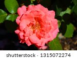 beautiful detail of pink hybrid ... | Shutterstock . vector #1315072274