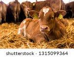 Beef Cattle Calfs Resting In...