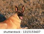 portrait of a beautiful dog...   Shutterstock . vector #1315153607