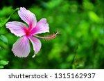 pink hibiscus flower blooming... | Shutterstock . vector #1315162937