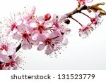 spring image of a cherry tree... | Shutterstock . vector #131523779