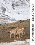 Synchronized Heads Of Pronghorn ...