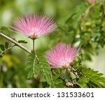 Small photo of Flowers Of Acacia (Albizzia Julibrissin Or Silk Tree)