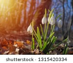 Snowdrop Or Common Snowdrop ...