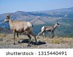 yellowstone national park ... | Shutterstock . vector #1315440491