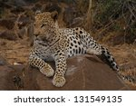photos of africa  leopard on... | Shutterstock . vector #131549135