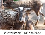 brown sheep portrait. farm... | Shutterstock . vector #1315507667