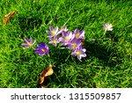 crocus tommasinianus  early...   Shutterstock . vector #1315509857