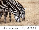 two zebras are drinking water... | Shutterstock . vector #1315552514