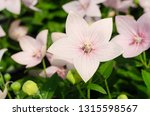 platycodon grandiflorus or... | Shutterstock . vector #1315598567