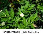 beautiful and unique tomato... | Shutterstock . vector #1315618517
