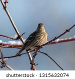 a house finch is watching you | Shutterstock . vector #1315632074