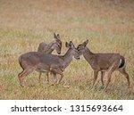 Three Little White Tailed Buck...
