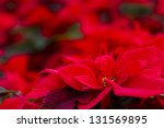 Bright Poinsettias For The...