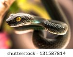 Close Up Of  Green Pit Viper ...