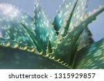 detail of aloe vera leaves | Shutterstock . vector #1315929857