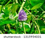 water hyacinth flower. water...   Shutterstock . vector #1315954031