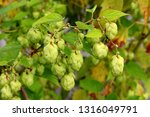 Small photo of Common hop or Humulus lupulus or Hops dioecious perennial herbaceous climbing flowering bine plant with multiple light hops on single branch surrounded with green leaves growing in local garden