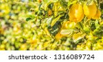 summer garden with lemon trees | Shutterstock . vector #1316089724
