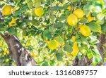 summer garden with lemon trees | Shutterstock . vector #1316089757