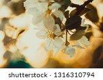 beautiful blooming apple trees... | Shutterstock . vector #1316310794