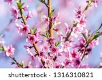 beautiful blooming peach trees... | Shutterstock . vector #1316310821