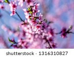 beautiful blooming peach trees... | Shutterstock . vector #1316310827