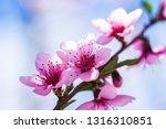beautiful blooming peach trees... | Shutterstock . vector #1316310851