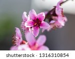beautiful blooming peach trees... | Shutterstock . vector #1316310854
