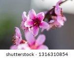 beautiful blooming peach trees... | Shutterstock . vector #1316310854