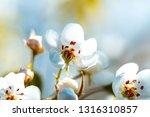 beautiful blooming apple trees... | Shutterstock . vector #1316310857