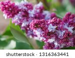 blooming lilac branch in... | Shutterstock . vector #1316363441