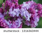 blooming lilac branch in... | Shutterstock . vector #1316363444