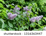 a branch of lilacs blossoms.... | Shutterstock . vector #1316363447