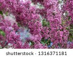 the blossoming bush of a... | Shutterstock . vector #1316371181