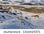 Three Pronghorn Antelope...