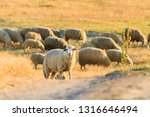 Sheep Graze On A Hill In The...