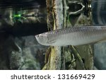 The Silver Arowana Fish In...