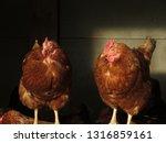 two hens standing   Shutterstock . vector #1316859161