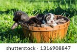 cute little puppies look out of ... | Shutterstock . vector #1316908847