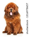 portrait of red tibetan mastiff ... | Shutterstock . vector #1316978657