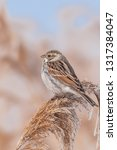 common reed bunting  emberiza... | Shutterstock . vector #1317384047