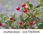 a close up of bearberry shrub... | Shutterstock . vector #1317565034