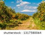 Orange trees submontane the snow-covered vulcano Etna; Sicily