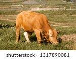brown cow grazing on pasture...   Shutterstock . vector #1317890081